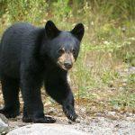 Bear Cub Innocently Walks Through Supermarket