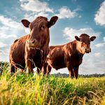 """Cows Potty Trained in """"Climate Change"""" Effort"""